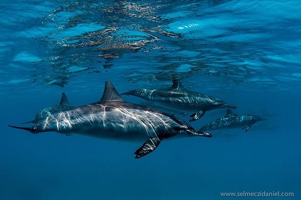 Közönséges delfin